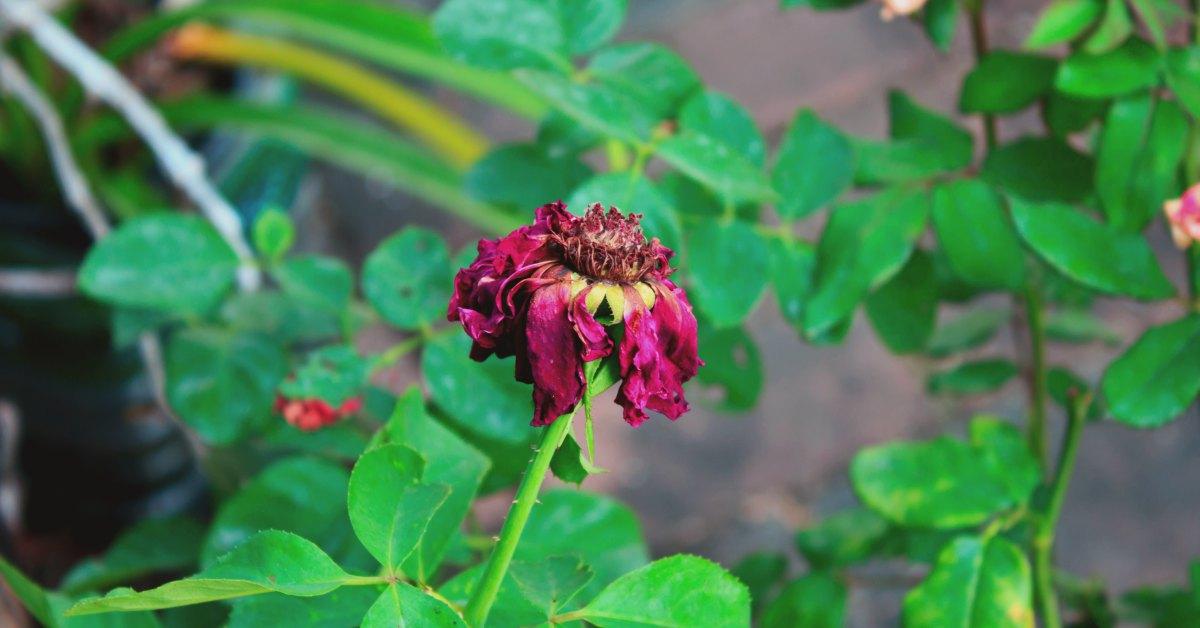 verwelkingsziekte roos