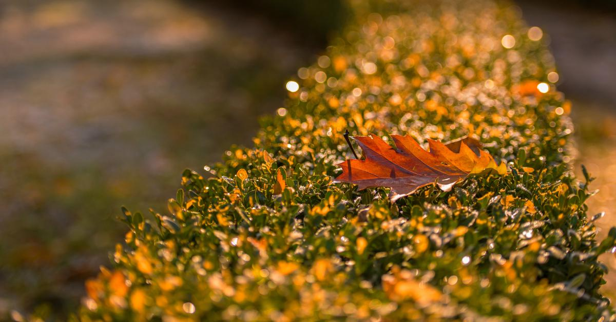 Heg-met-herfstblad