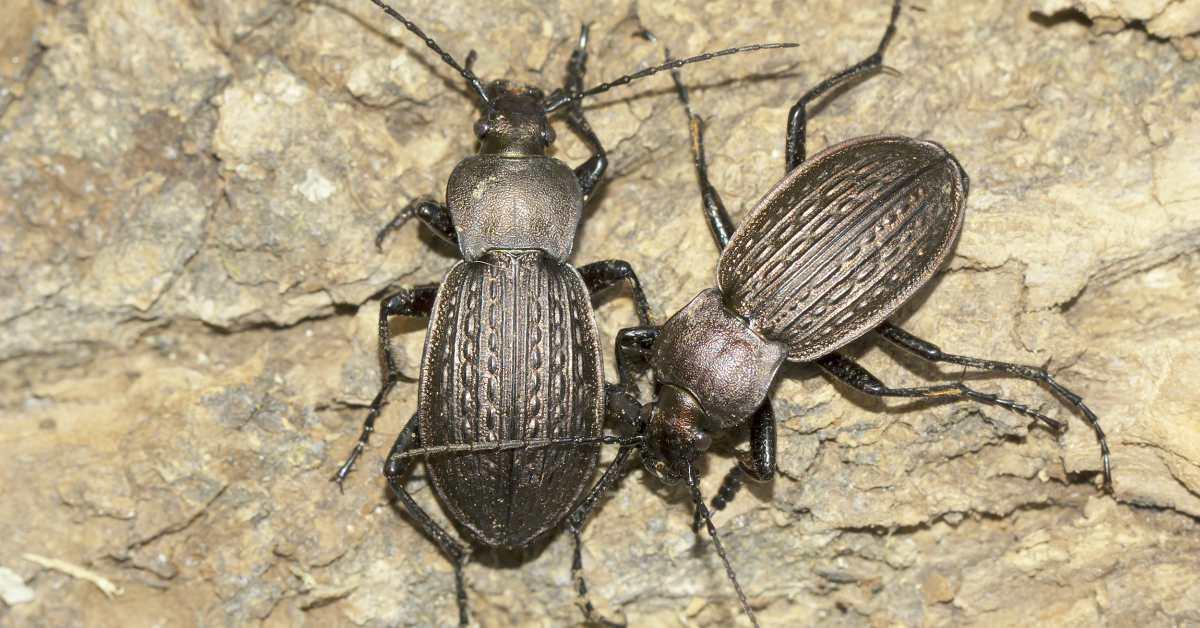 Loopkevers