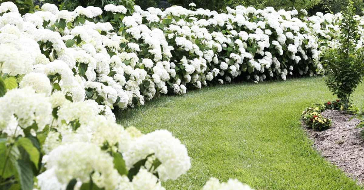 Hortensia soorten herkennen een verrassende en speelse tuinplant