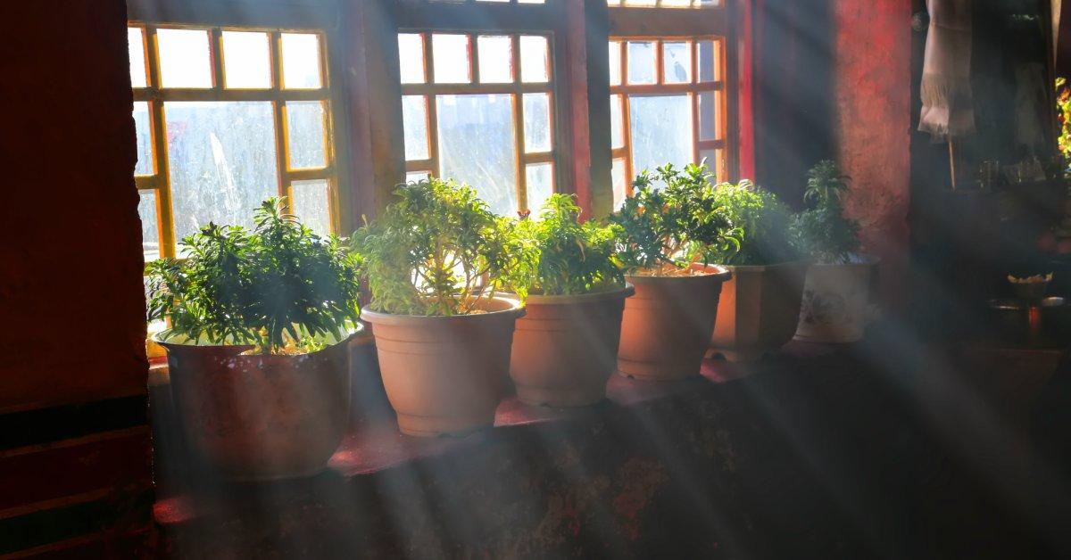 Potplanten-binnen-voor-het-raam
