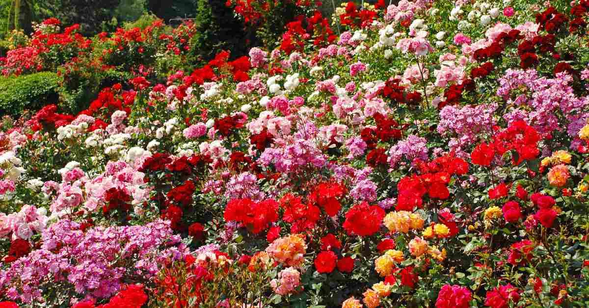 bloeiende rozen