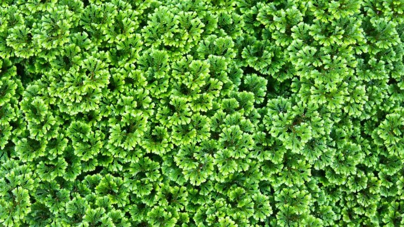 groene bodembedekker schaduw