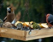 vogels eten voer