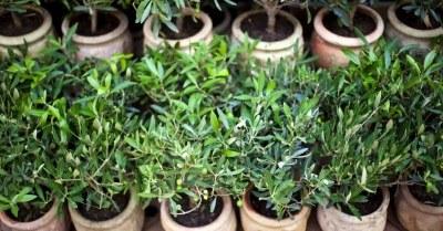 Jonge-terrasplanten-op-stam