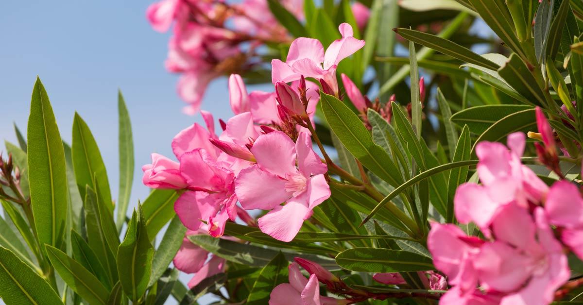 Struiken Met Bloemen Voor In De Tuin.Mediterrane Planten Mediterranetuinplanten