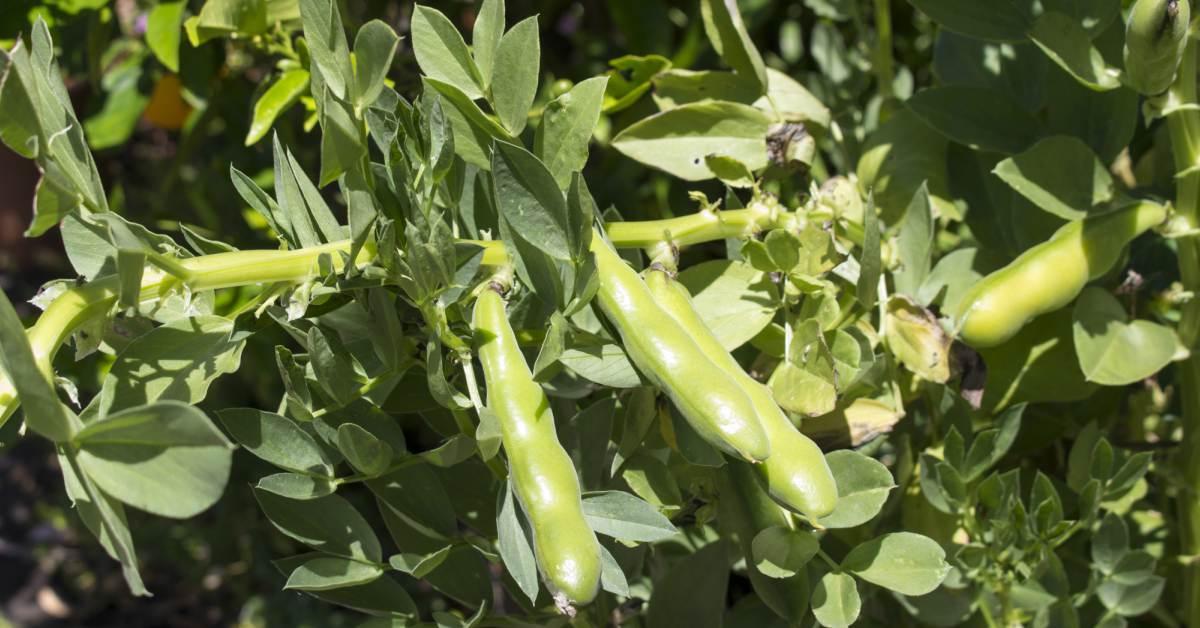 tuinbonen in moestuin
