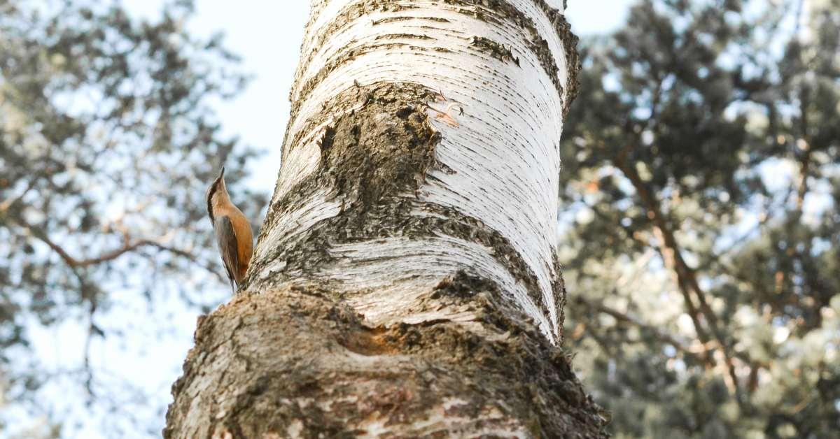 Berkenboom-met-vogel