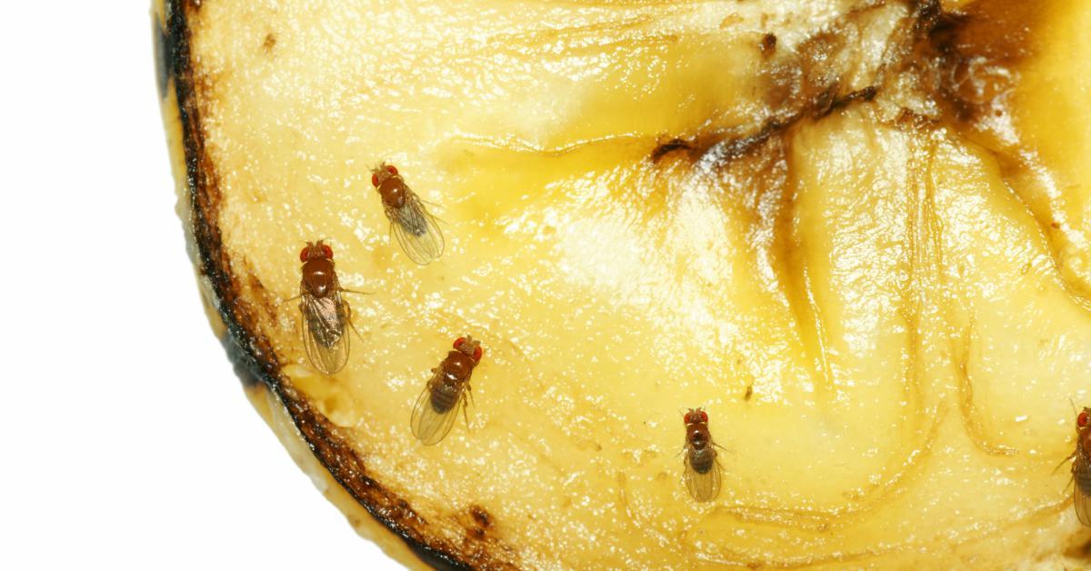 Fruitvliegjes-op-banaan
