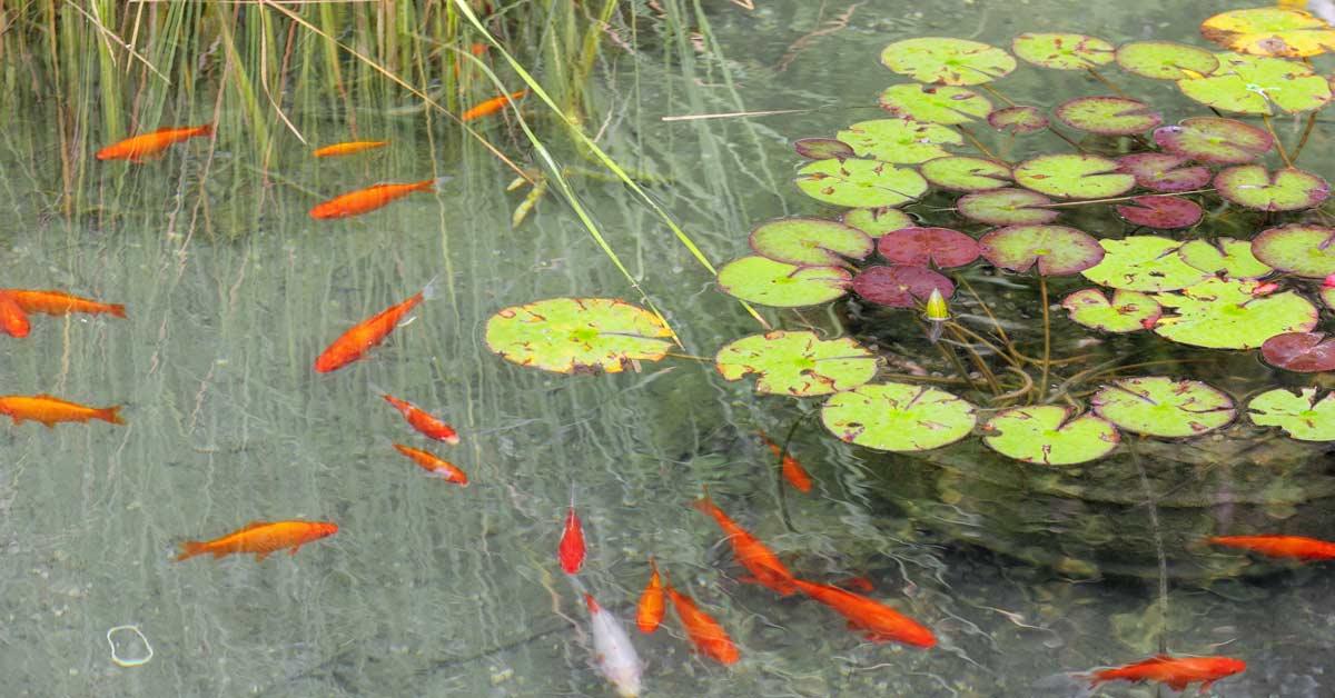 Alles over vijvervissen vissen voor in de vijver for Vissen vijver