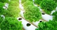 Planten-geweekt-via-hydroponics