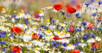 Veld-met-bloemen