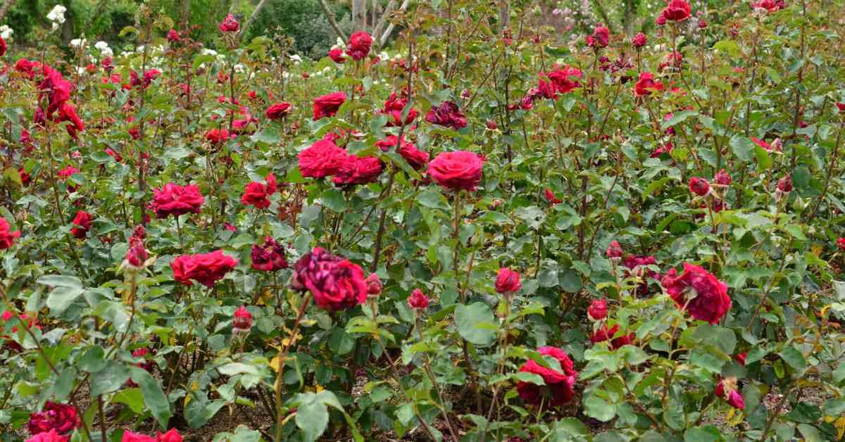 Veld-met-rozen