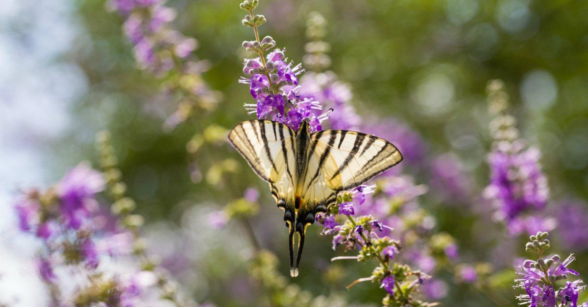 Vlinder-op-vlinderstruik
