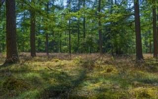 bos bij Lage Vuursche