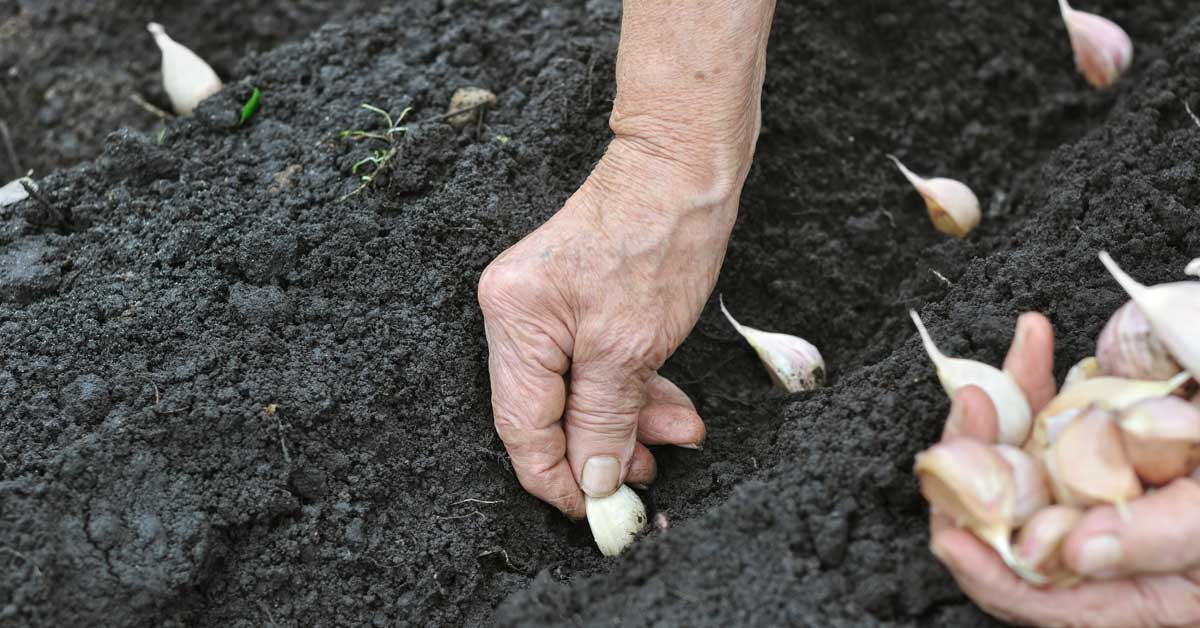 Knoflook planten najaar