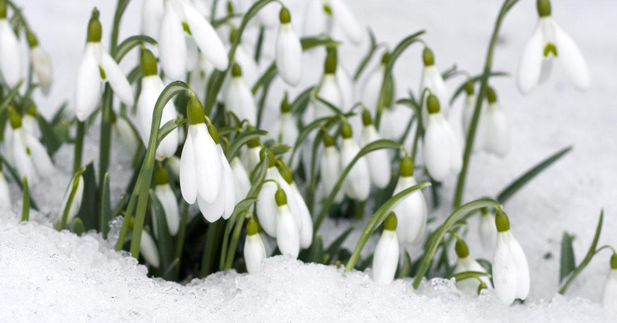 Sneeuwklokjes