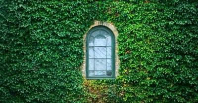 klimop planten op een muur