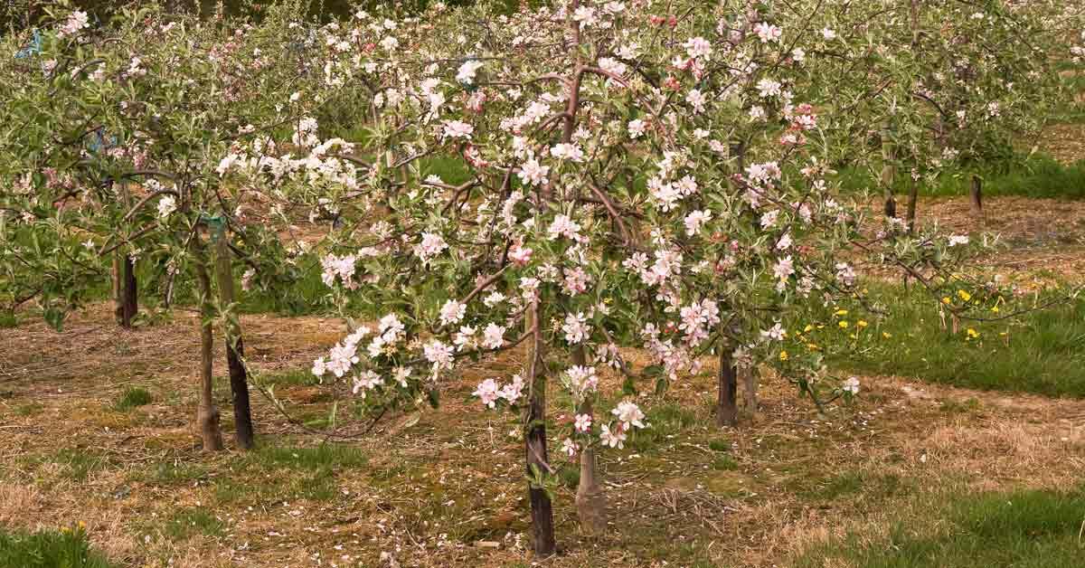 jonge appelbomen