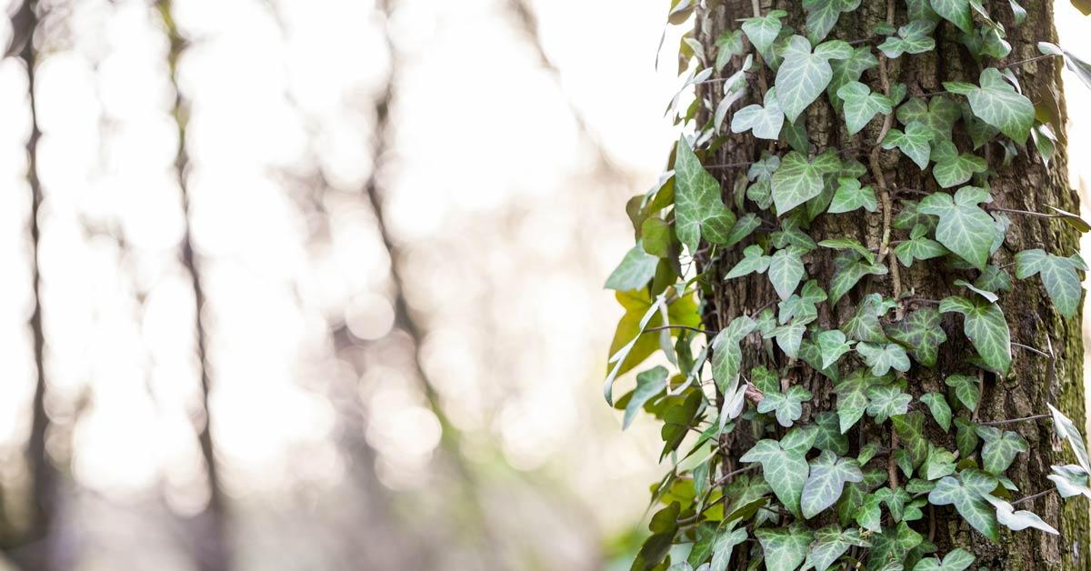 klimop op boom