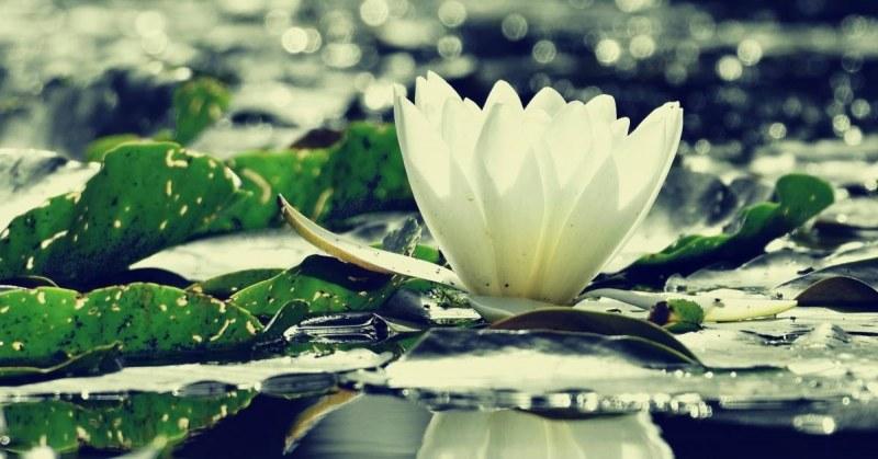waterplant-lelie