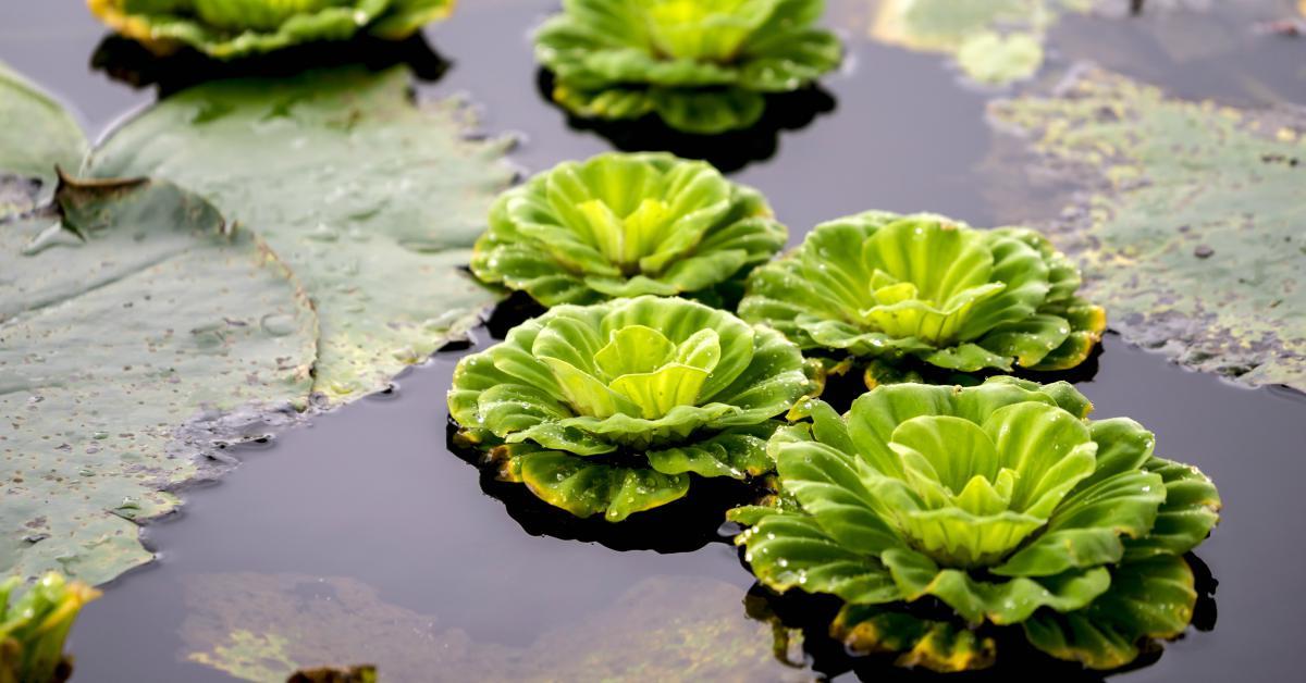 watersla-of-mosselplant