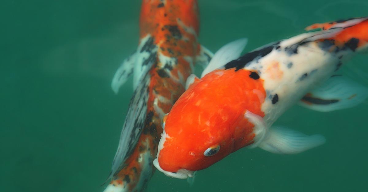 Vissen In Vijver : Vissen in vijver buitenlevengevoel