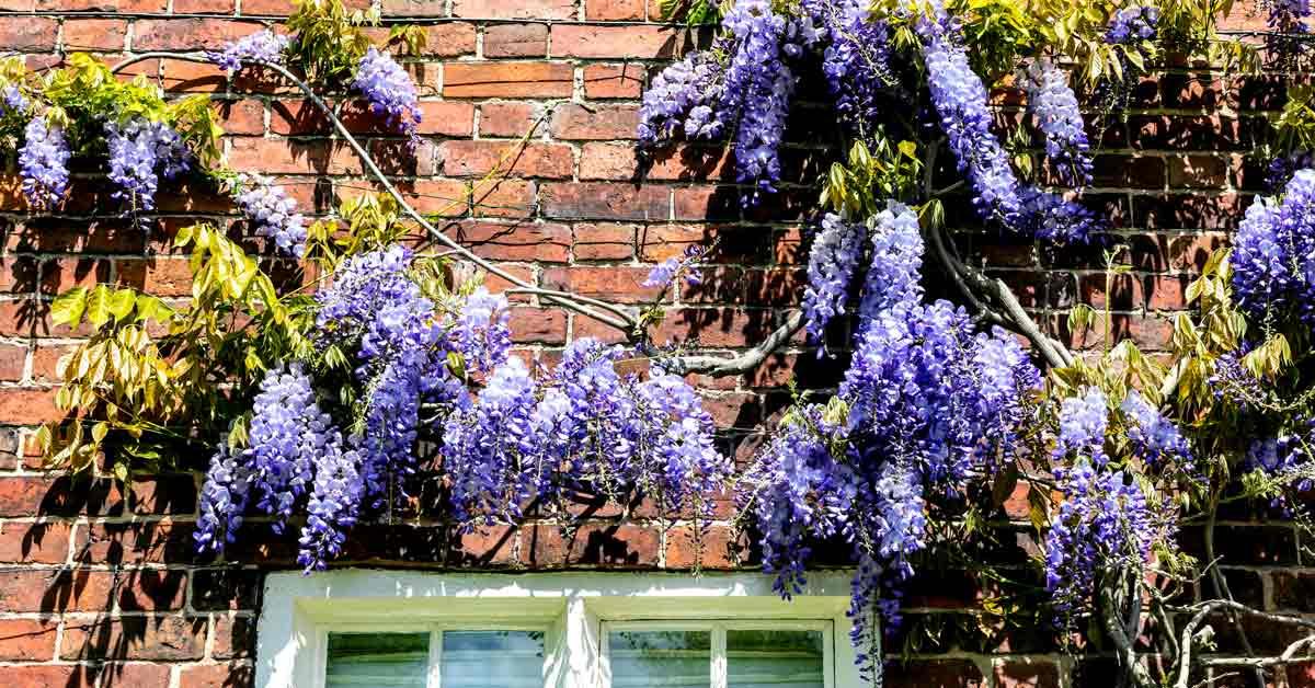 blauweregen-tegen-een-huis
