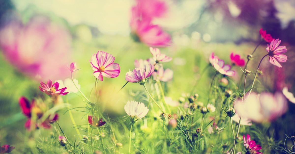 roze-bloemen-in-tuin