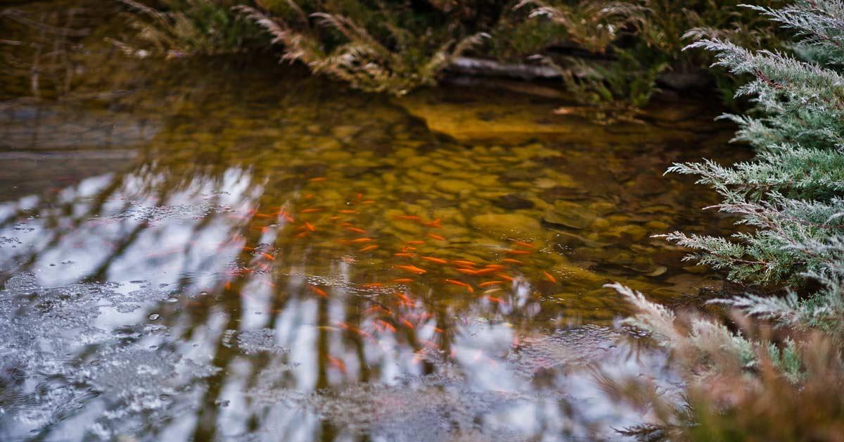 vissen-vijver-ijs