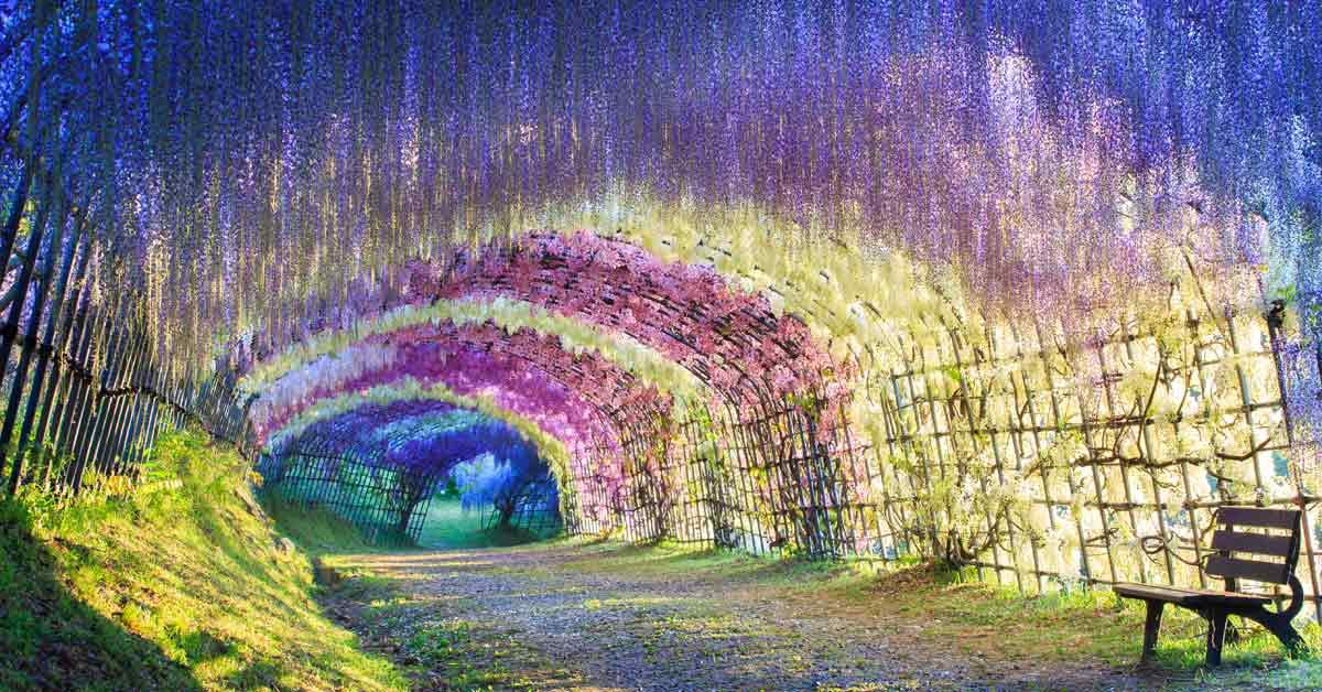 wisteria-japen-twee