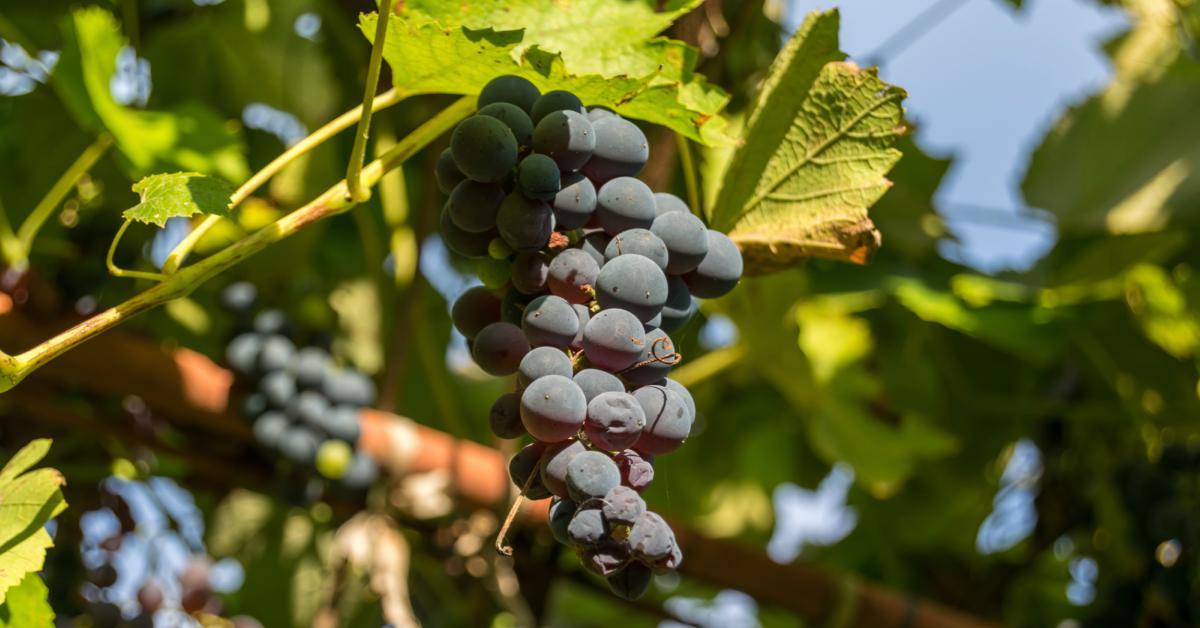 druiven-in-de-zon