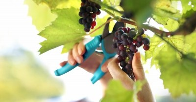 druiven-snoeien
