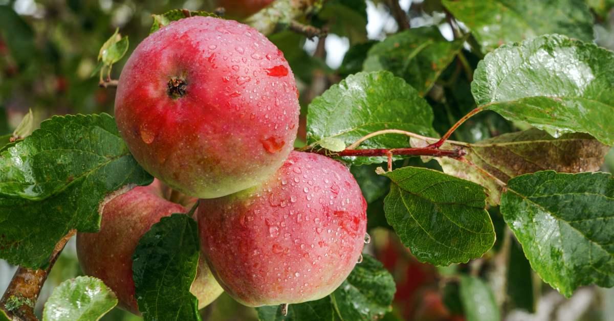 Appels in de regen