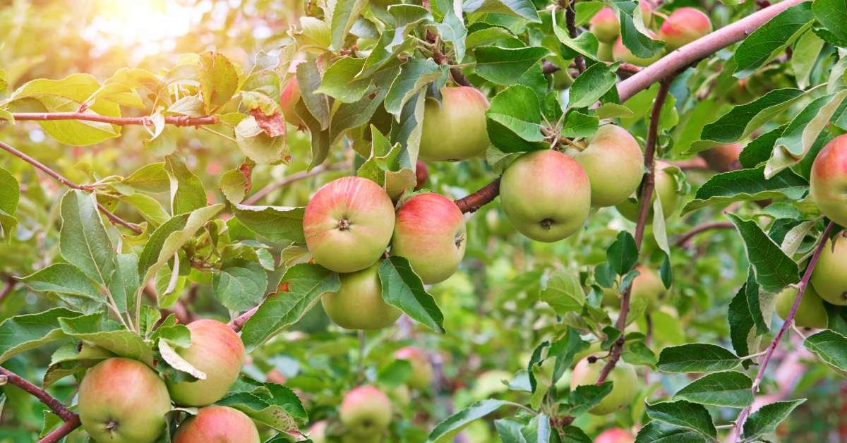 Appels aan boom