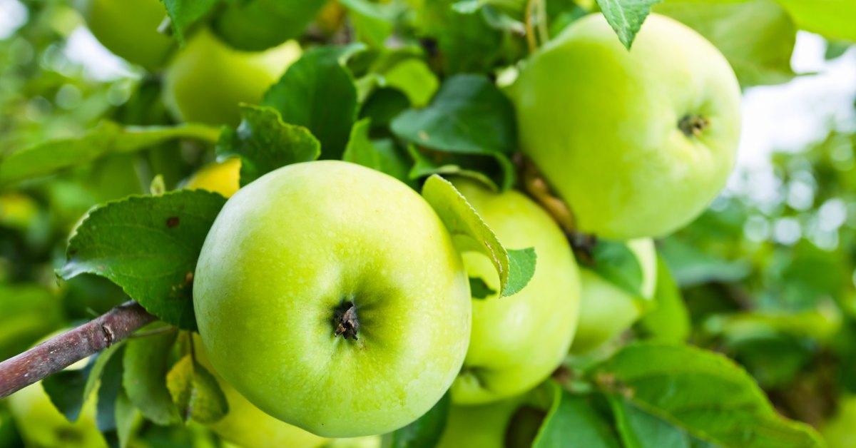 Groene appels aan boom