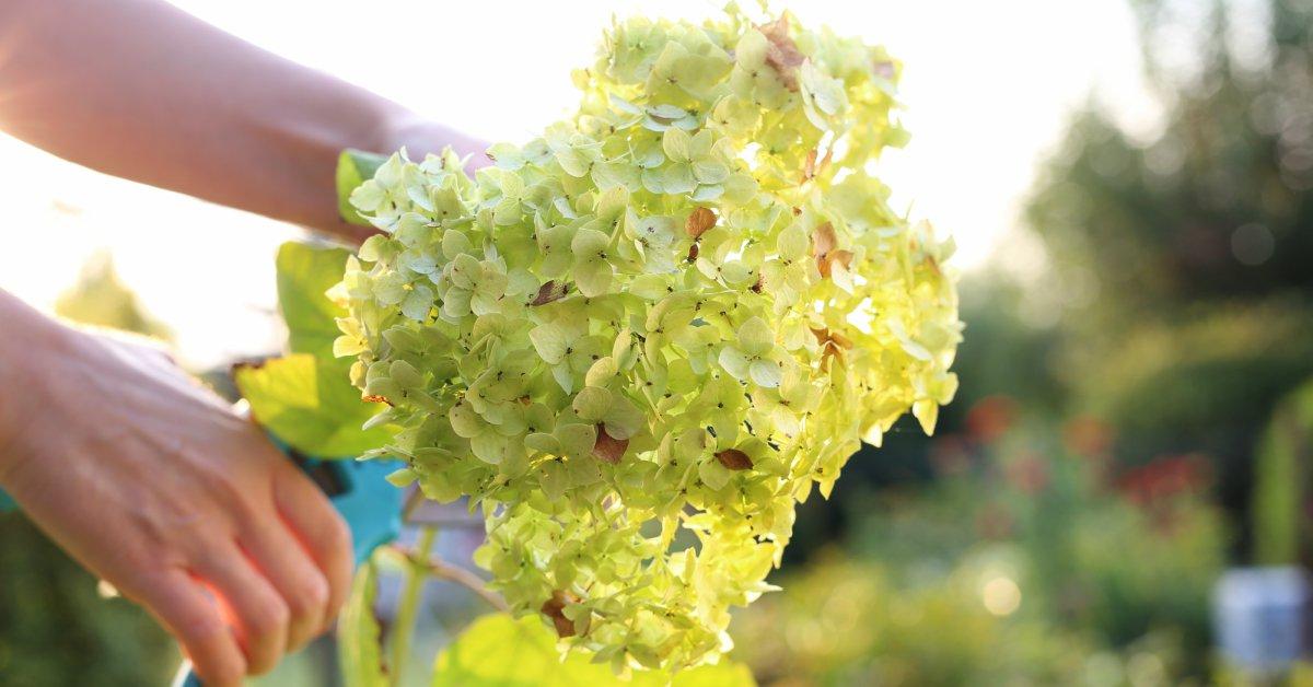 Hortensia-snoeien-in-het-voorjaar