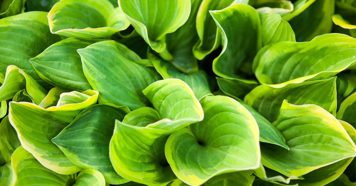 hosta-hartlelie
