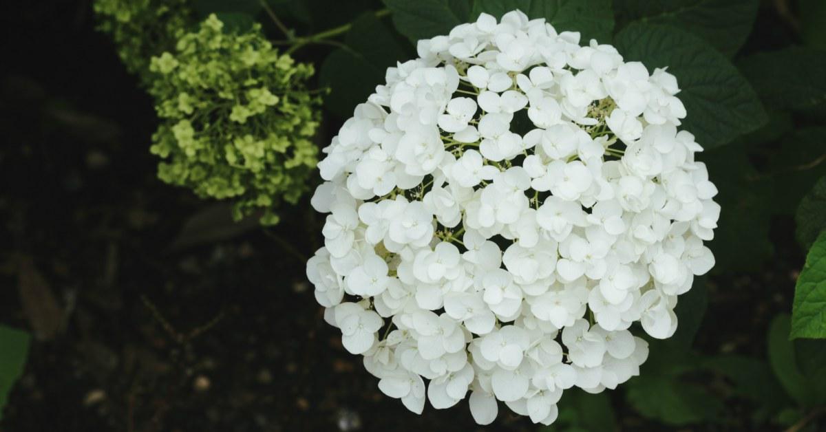 Witte-hortensia