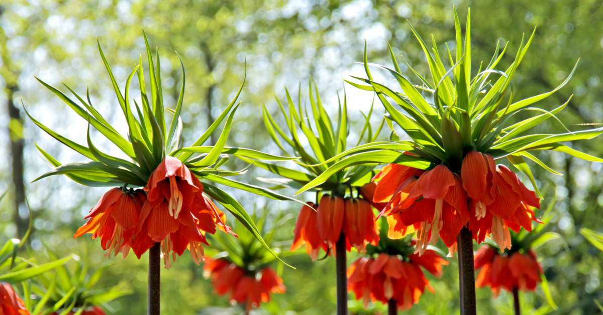 keizerskroon-fritillaria-imperialis