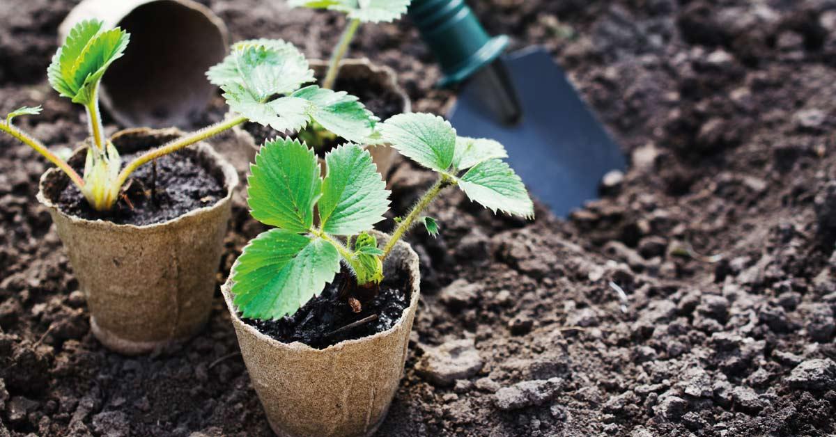 Aardbeien-stekjes-planten