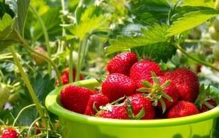 Doordragende aardbeien zaaien en opkweken