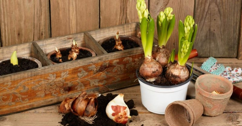 Bloembollen-in-potten-planten