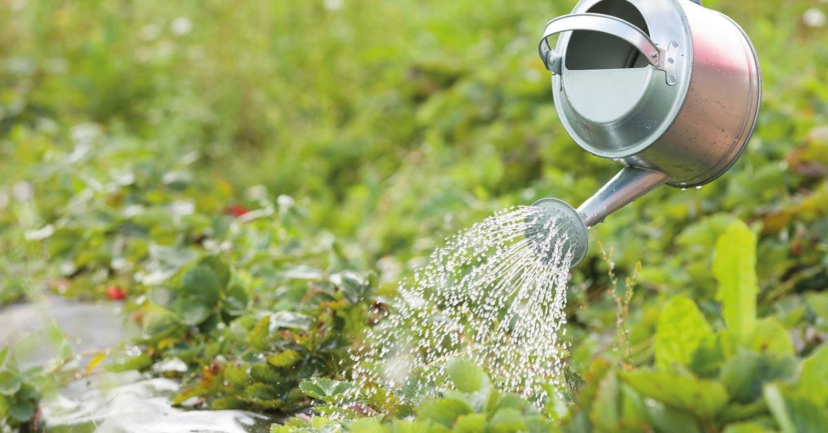De-aardbeien-water-geven
