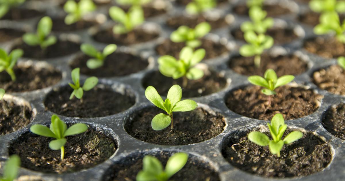 Kleine plantjes in kweekbak
