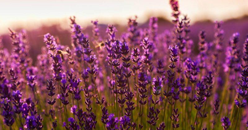 Buitenleven Relaxen Lavendel : Lavendel snoeien in het voorjaar zo geniet jij het langs van de