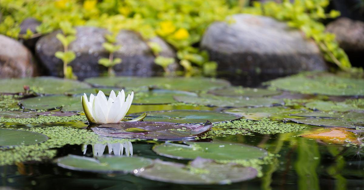 Waterlelie-in-vijver