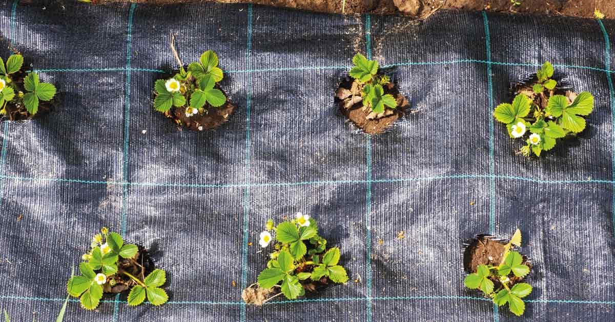 Worteldoek-rondom-aardbeienplantjes