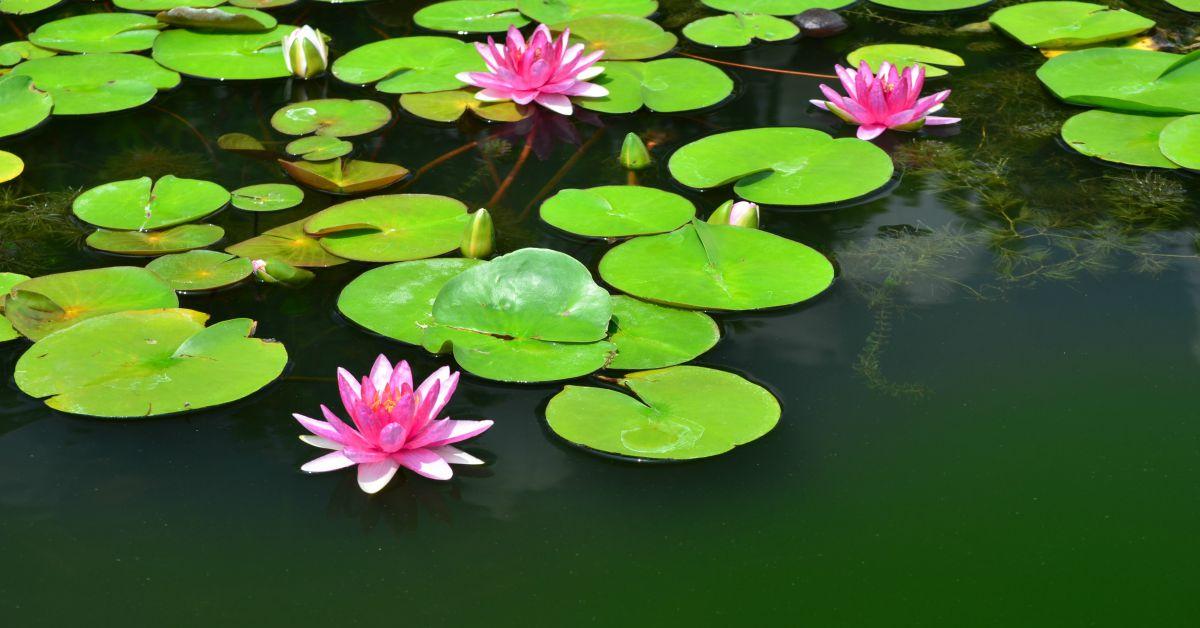 Vijver met roze waterlelies