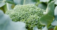Broccoli-planten-in-de-moestuin